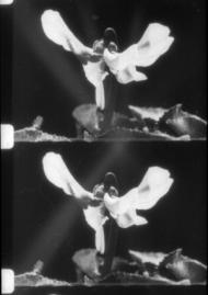 Cyclamen, La Croissance des végétaux (1929) de Jean Comandon, photogrammes. (Photographie : Jeff Guess)